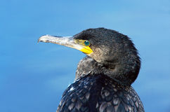 Head and eye of a great cormorant. Latin name : Phalacrocorax carbo Stock Image