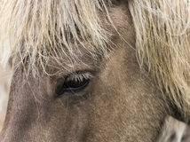 Head and Eye of Icelandic Horse. Head, eye and white mane of Icelandic horse royalty free stock photography