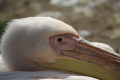 Head and eye of a pink flamingo Stock Image