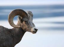 head får för bighorn Royaltyfri Bild