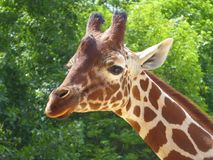 Head and face of endangered giraffe. The head and face of an endangered Kordofan Giraffe from Central Africa in a wildlife reserve in England Stock Image