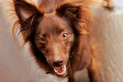 The head and face muzzle of little red dog mongrel with red nose and almond eyes, ears up. royalty free stock image