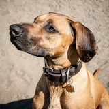 Head and Face of Rhodesian Ridgeback Dog at the Beach Royalty Free Stock Images