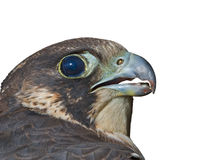 Head of falcon 1 Stock Photography