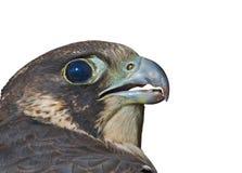 Head of falcon 1. A close up of the head of falcon (Falco subbuteo). Profile. Isolated on white Stock Photography
