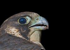 Head of falcon 3. A close up of the head of falcon (Falco subbuteo). Profile. Isolated on black Royalty Free Stock Photos