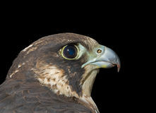 Head of falcon 4 Stock Photos
