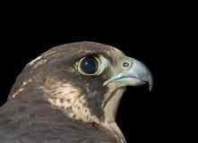 Head of falcon 4. A close up of the head of falcon (Falco subbuteo). Profile. Isolated on black Stock Photos