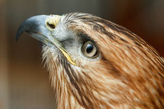 Head of a falcon bird with a huge beak Royalty Free Stock Image