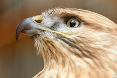 Head of a falcon bird with a huge beak. Close-up Royalty Free Stock Images