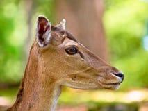 Head of a fallow deer. (Dama dama) in its natural habitat royalty free stock photos