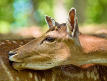 Head of a fallow deer Stock Photography