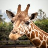 Head fasadbeklädnad för giraff kameran Royaltyfri Foto