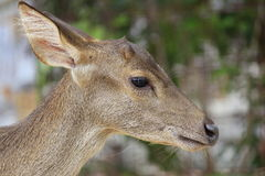 Head of fawn Royalty Free Stock Image