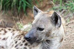 Head female African spotted hyenas. Stock Photo