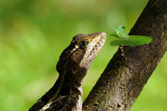 Head of female Common Basilisk lizard Royalty Free Stock Image