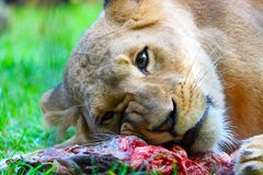 Head of a female lion lying on a piece of bloody meat Stock Photography