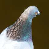 Head of feral pigeon Stock Photo