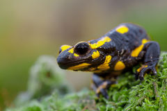 Head of a Fire salamander in its natural habitat Royalty Free Stock Photo