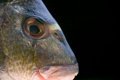 Head of a fish. The head of a fish on black royalty free stock image