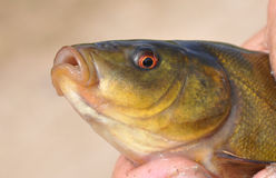 Head of fish. Fish - a tench. A head close up Stock Photography