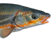 Head of fish 3 Royalty Free Stock Image
