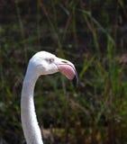 Head Flamingo Stock Image
