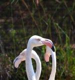 Head Flamingo Royalty Free Stock Photos