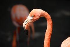 Head of Flamingo Royalty Free Stock Photos