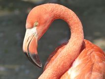 Head of a flamingo in portrait.  Royalty Free Stock Image