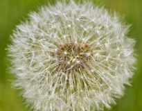 Head of fluffy dandelion. Stock Images