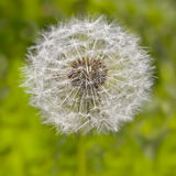 Head of fluffy dandelion. Stock Image