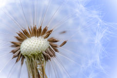 Head of fluffy dandelion seeds macro photo Royalty Free Stock Photo