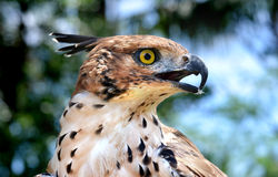 Head focus of the Changeable Hawk Eagle Stock Photo