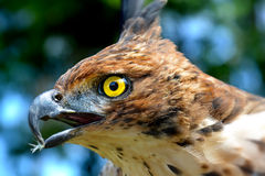 Head focus of the Changeable Hawk Eagle Stock Photography