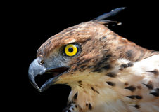 Head focus of the Changeable Hawk Eagle Stock Images
