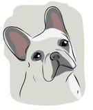 Head of French bulldog Royalty Free Stock Photo