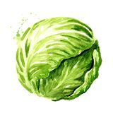 Head of fresh cabbage. Watercolor hand drawn illustration isolated on white background.  vector illustration