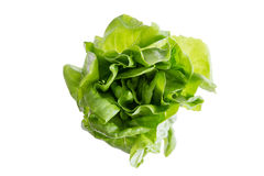 Head of fresh organic butter crunch lettuce Royalty Free Stock Image