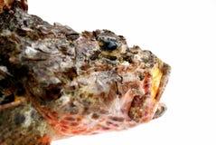 Head of fresh stone perch fish Royalty Free Stock Photo