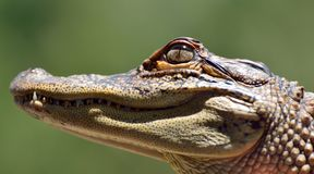 Head of freshwater crocodile Crocodylus johnsoni. Close-up of head of freshwater crocodile Crocodylus johnsoni Stock Images