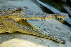 Head of freshwater crocodile Crocodylus johnsoni. With open mouth Stock Image