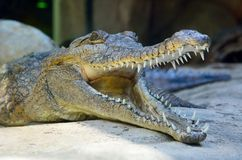 Head of freshwater crocodile Crocodylus johnsoni. With open mouth Stock Photo