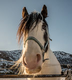 Head of friesian horse Royalty Free Stock Photo