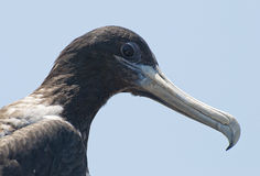 Head of a frigate bird Stock Photos