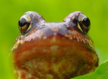 Head of frog. On green background Stock Photo