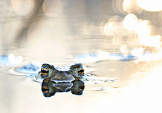 Head frog in swamp Stock Photo