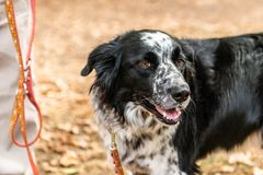 Head and fsce of a border collie mixed breed black and white fur closeup bokeh stock photography
