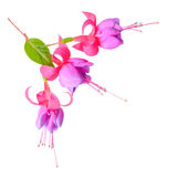 Head of fuchsia flowers is isolated on white background, `Tennes Stock Photo