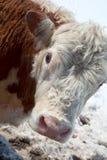 head fundersamt för ko arkivbild